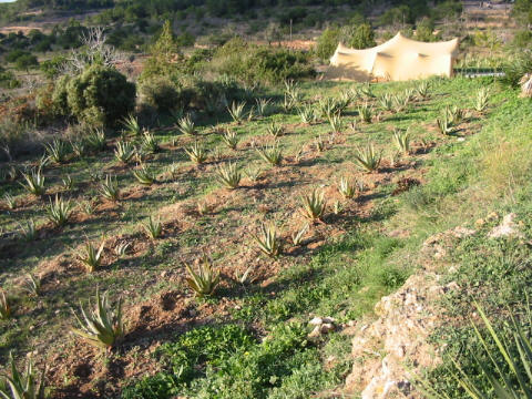 Aloe vera Plantage auf Ibiza.
